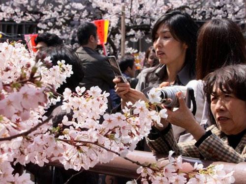 Lễ hội hoa anh đào ở Osaka – Nhật Bản