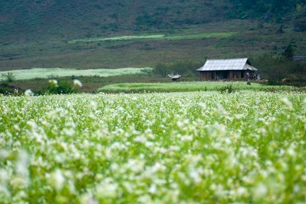 Đi du lịch Mộc Châu tháng 11 ngắm hoa cải nở trắng đồi