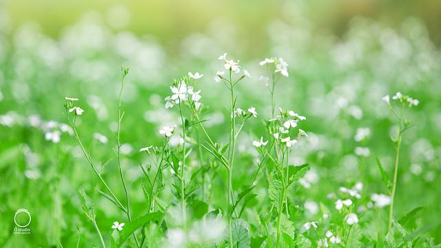 Cận cảnh bông hoa cải trắng tinh khôi