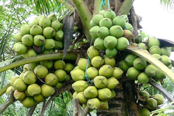 Đặc sản dừa Hoàng Hoá Thanh Hoá